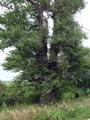 Topola czarna - obwód 653cm, wysokość 27m